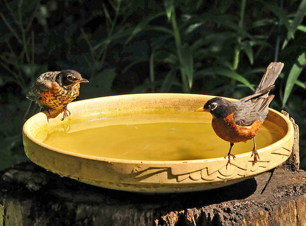 """<div class=""""jaDesc""""> <h4>Mother Robin with Juvenile Ready for Bath - June 22, 2010 </h4> <p> The adult Robin on the right was getting ready to demonstrate taking a bath for a juvenile.</p> </div>"""