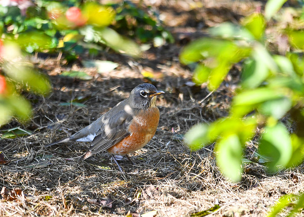 """<div class=""""jaDesc""""> <h4>Migrating Robin Looking for Worms - November 4, 2016</h4> <p>This Robin would tilt its head listening for where a worm was, then grab it out from under the mulch grass layer.</p> </div>"""