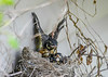 """<div class=""""jaDesc""""> <h4>Robin Chick Exercising Wings - June 3, 2019</h4> <p>This chick is testing its wings in preparation for leaving the nest.</p> </div>"""