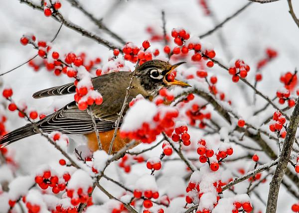 """<div class=""""jaDesc""""> <h4>Robins Tosses Winterberry Into Throat - November 8, 2019</h4> <p></p> </div>"""