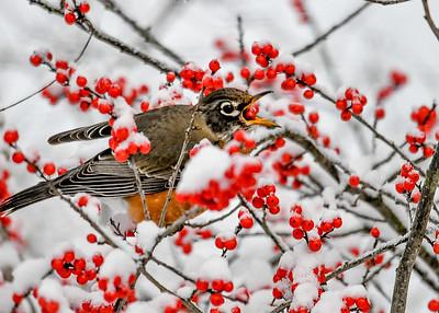 Robins Tosses Winterberry Into Throat - November 8, 2019