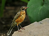"<div class=""jaDesc""> <h4> Juvenile Robin Exploring - July 9, 2014 </h4> <p>This juvenile Robin was exploring the flower gardens in my sister-in-law's back yard.  It left the nest a few days ago and is already moving around without the parents.</p> </div>"
