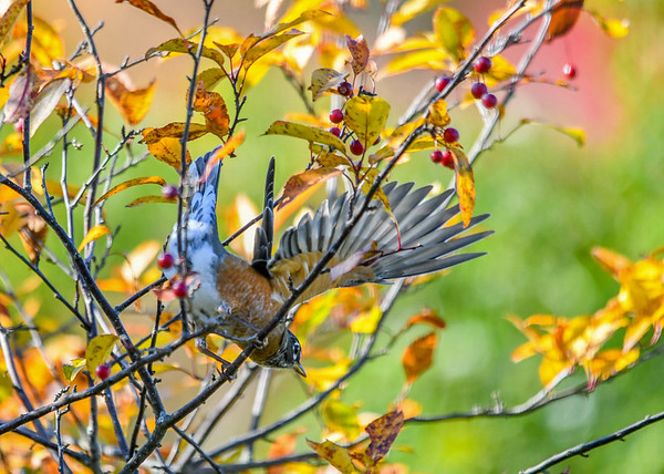 """<div class=""""jaDesc""""> <h4>Robin Take-off - October 18, 2016</h4> <p>After finishing her crabapple course, she took off to go hunt for worms in our backyard.</p> </div>"""