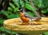 """<div class=""""jaDesc""""> <h4> Adult Robin Ready for Bath - July 9, 2014 </h4> <p>This is one of the parents of the two juvenile Robins.  She perched on the edge of the birdbath, then hopped in and stared at her reflection before taking a vigorous splash bath. </p> </div>"""