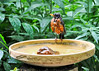 """<div class=""""jaDesc""""> <h4> Soggy Robin - July 8, 2014 </h4> <p>When the Robins take a bath, they really get soaked.  This Robin was proudly showing off her wet bath look. </p> </div>"""