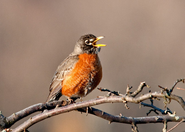 """<div class=""""jaDesc""""> <h4> Robin Announces Arrival of Spring - March 20, 2011 </h4> <p>There were 50+ Robins working their way up through our horse pastures this morning. A number of them have paired off and are starting their territory calls. This guy was announcing the arrival of Spring in the morning sunshine.</p> </div>"""