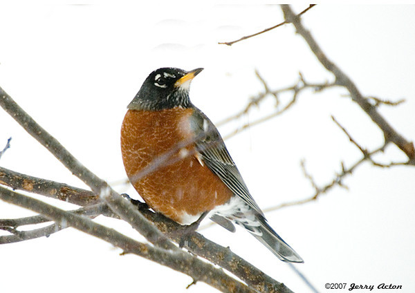"<div class=""jaDesc""> <h4> Robin Looking for Food to Stay Warm - December 13, 2007 </h4> <p>We have a few die hard Robins that are still here as the first snow starts to fall.  She landed in our crabapple tree and is sizing up the few remaining crabapples.</p> </div>"
