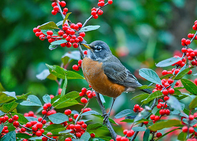 """<div class=""""jaDesc""""> <h4>Robin in Winterberry Bush - October 22, 2018</h4> <p>I started my day with two Robins showing up for breakfast in one of our winterberry bushes.</p> </div>"""