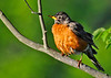 "<div class=""jaDesc""> <h4> Robin in Morning Sun - June 4, 2014 </h4> <p>This adult Robin was trying to keep track of her newly fledged chicks -  an impossible stressful task.</p> </div>"