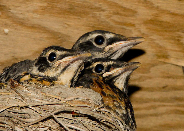 "<div class=""jaDesc""> <h4> Robin Chicks Ready to Fledge - July 4, 2012 </h4> <p> I took this shot of our Robin chicks in the morning of July 4th.  By 2PM, all 3 had left the nest.  The nest was tucked up under the roof overhang of our wood shed.</p> </div>"
