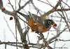 "<div class=""jaDesc""> <h4> Robin with Crabapple - December 13, 200 </h4> <p>This Robin grabbed one of the few remaining crabapples during a brief snowy spell.</p> </div>"