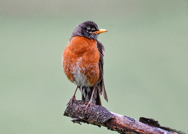"""<div class=""""jaDesc""""> <h4>Robin on Limb - May 12, 2018</h4> <p>Robins always look their brightest in the early morning sun.</p> </div>"""