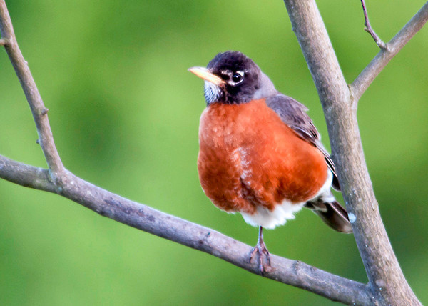 """<div class=""""jaDesc""""> <h4>Robin Perched on One Leg - June 15, 2013 </h4> <p> A pair of Robins are visiting our backyard regularly.  They love the serviceberries.  This one was resting on one leg while taking a break from eating.</p> </div>"""