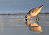 "<div class=""jaDesc""> <h4>Sanderling with Reflection - November 10, 2016</h4> <p>This Sanderling was digging deep for a bite to eat as the foam from a wave approaches.</p> </div>"