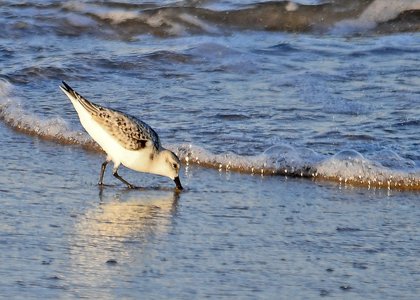 """<div class=""""jaDesc""""> <h4>Sanderling Probing for Food - October 23, 2017</h4> <p>As a wave recedes, the Sanderlings follow the water out probing for food as they go.  Chincoteague Island, VA</p></div>"""