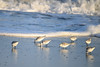 "<div class=""jaDesc""> <h4>Group of Sanderlings Feeding - November 10, 2016</h4> <p>In some cases there were as many as 20 in a tightly spaced group scurrying along the receding waves.  Chincoteague Wildlife Preserve, northern VA.</p> </div>"