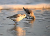 "<div class=""jaDesc""> <h4>Sanderling Pair on Foamy Beach - November 10, 2016</h4> <p>They scramble onto the sandy areas where the water is rushing back to peck for their food.  Chincoteague Wildlife Preserve, northern VA.</p> </div>"