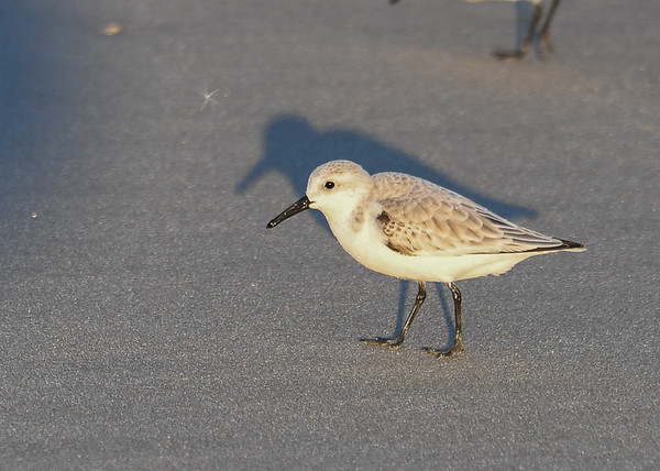 """<div class=""""jaDesc""""> <h4>Sanderling with Glistening Beak and Legs - November 10, 2016</h4> <p>The sea water on the beaks and legs made them shine in the setting sunlight.  Chincoteague Wildlife Preserve, northern VA.</p> </div>"""