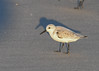 "<div class=""jaDesc""> <h4>Sanderling with Glistening Beak and Legs - November 10, 2016</h4> <p>The sea water on the beaks and legs made them shine in the setting sunlight.  Chincoteague Wildlife Preserve, northern VA.</p> </div>"