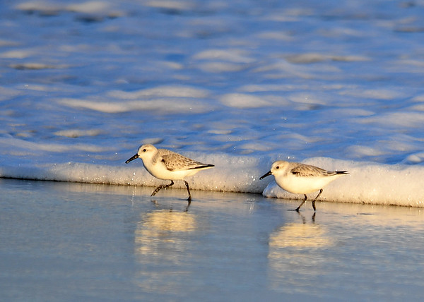 """<div class=""""jaDesc""""> <h4>Sanderlings Racing Ahead of Wave - November 10, 2016</h4> <p>This pair of Sanderlings were feeding together, always staying close to the edge of the waves.</p> </div>"""