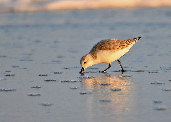 """<div class=""""jaDesc""""> <h4>Sanderling Feeding at Sunset - November 10, 2016</h4> <p>These little speedsters race along the beach as the waves recede.  It is a challenge to get a shot of them that is in focus.</p> </div>"""