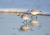 "<div class=""jaDesc""> <h4>Sanderling Pair Walking Together - November 10, 2016</h4> <p>This pair stuck together separate from the others as they moved past me.    Chincoteague Wildlife Preserve, northern VA.</p> </div>"