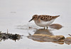 "<div class=""jaDesc""> <h4> Least Sandpiper Grabs a Bite - May 13, 2014 </h4> <p></p> </div>"