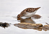 "<div class=""jaDesc""> <h4> Least Sandpiper - Deep Peck for Food - May 13, 2014 </h4> <p></p> </div>"