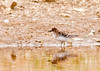 "<div class=""jaDesc""> <h4> Least Sandpiper Foraging - May 18, 2013 </h4> <p>This Least Sandpiper worked its way all along the edge of a wetland pool, pecking the soft mud for food.</p> </div>"