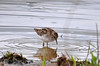 "<div class=""jaDesc""> <h4> Least Sandpiper Foraging - May 13, 2014 </h4> <p></p> </div>"