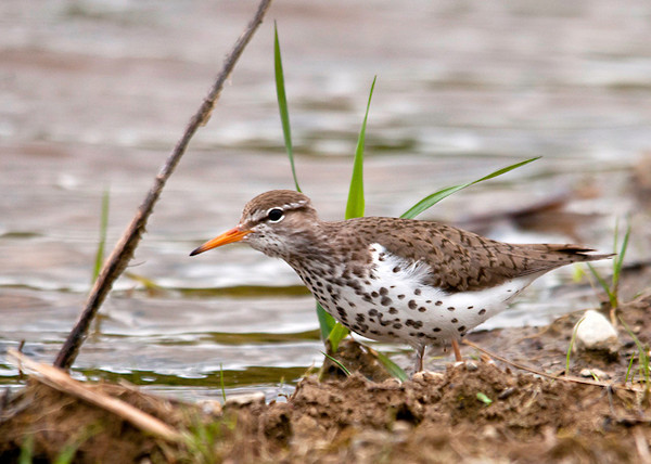 """<div class=""""jaDesc""""> <h4> Spotted Sandpiper Neck Stretched - May 25, 2013</h4> <p>When this Spotted Sandpiper first noticed me, she leaned forward ready to take off.  I stayed very still, and she continued on around the edge of the pool.  Spotted Sandpipers prefer fresh water wetland areas.</p> </div>"""