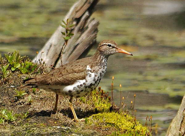 """<div class=""""jaDesc""""> <h4> Spotted Sandpiper on Mossy Log - May 16, 2010 </h4> <p> This Spotted Sandpiper was walking along a moss-laden log that was in the shallow water at the edge of a pond.  His tail bobbed up and down as he walked along looking for bugs.</p> </div>"""