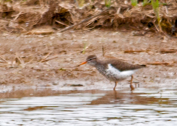 """<div class=""""jaDesc""""> <h4> Spotted Sandpiper Looking for Bugs - May 17, 2013</h4> <p> This Spotted Sandpiper was looking for bugs as it walked along the edge of a wetland area.</p> </div>"""