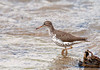 "<div class=""jaDesc""> <h4> Spotted Sandpiper at Wetlands Preserve - May 21, 2011 </h4> <p> I watched this Spotted Sandpiper foraging in several inches of water at the Goethius Wetlands Preserve, Slaterville Springs, NY. It appeared to be feeding mostly on insects flying close to the water, but would also peck into the water periodically.</p> </div>"