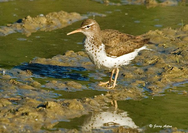 """<div class=""""jaDesc""""> <h4> Spotted Sandpiper in Puddle - June 1, 2009</h4> <p> This Spotted Sandpiper was walking around in rain water puddles near a neighbor's pond.  I was lucky to get this shot since he was in constant motion.</p> </div>"""