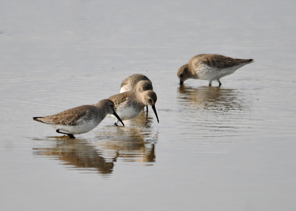 """<div class=""""jaDesc""""> <h4> Western Sandpipers Closer - December 16, 2014</h4> <p> These four Western Sandpipers came closer than any of the others.  Western Sandpipers look much like the Least Sandpiper, but the Westerns have a longer slightly curved bill.  Not sure why a shorebird on the east coast would be called a Western Sandpiper. Chincoteague Wildlife Reserve shallows </p>  </div>"""
