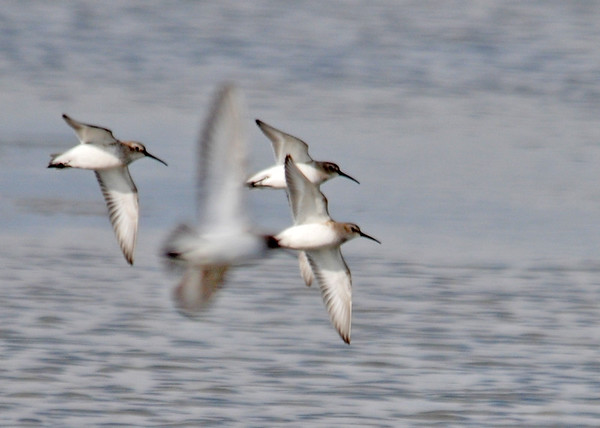 "<div class=""jaDesc""> <h4> Western Sandpipers Fly-by - December 16, 2014</h4> <p> </p>  </div>"