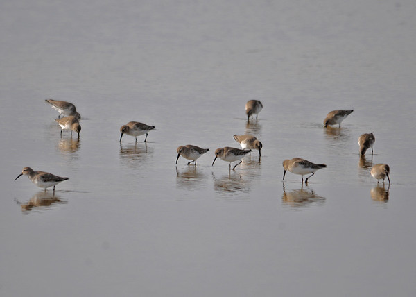 """<div class=""""jaDesc""""> <h4> Western Sandpipers Foraging - December 16, 2014 - Video Attached</h4> <p> There were several hundred Western Sandpipers spread out across the shallows at Chincoteague Wildlife Reserve.  I enjoyed watching this group moving busily about while they foraged. </p>  </div> <center> <a href=""""http://www.youtube.com/watch?v=bQ-wJS8Fh-o"""" style=""""color: #0AC216"""" class=""""lightbox""""><strong> Play Video</strong></a> </center>"""