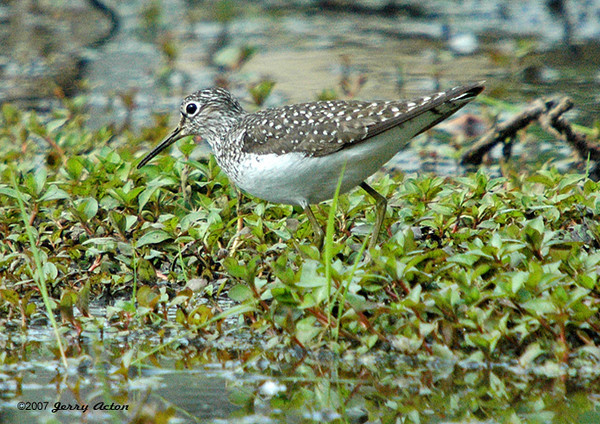 """<div class=""""jaDesc""""> <h4> Solitary Sandpiper Feeding - May 2006</h4> <p> While I was hoping to find a Blue Heron, I happened upon this Solitary Sandpiper walking among the pond plants at a nature preserve not far from from our home.</p> </div>"""