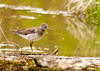 """<div class=""""jaDesc""""> <h4> Solitary Sandpiper on Log - May 10, 2013</h4> <p> This Solitary Sandpiper was looking for a meal.  They eat insects and water bugs.  He had selected a long log that was lying low in the water at a wetland area.  The white eye ring is a distinctive field marking.</p> </div>"""