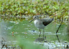 """<div class=""""jaDesc""""> <h4> Solitary Sandpiper in a Pool - May 2006</h4> <p> Taking a break from eating, this Solitary Sandpiper turned toward me and waded into a clear pool area of the pond.</p> </div>"""