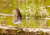 """<div class=""""jaDesc""""> <h4> Solitary Sandpiper Ready for Take-off - May 10, 2013 - Video Attached</h4> <p> After walking along the log for about 20 feet with its body and tail bobbing up and down, this Solitary Sandpiper decided to fly to the water area on the other side of the road.  Very short video attached.</p> </div> </br> <center> <a href=""""http://www.youtube.com/watch?v=ZwX_nUqUZO4"""" class=""""lightbox""""><img src=""""http://d577165.u292.s-gohost.net/images/stories/video_thumb.jpg"""" alt=""""""""/></a> </center>"""