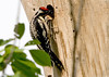"""<div class=""""jaDesc""""> <h4> Female Yellow-bellied Sapsucker Feeding Chicks - June 17, 2007 </h4> <p> This female yellow-bellied sapsucker arrived at the nest with caterpillars for her 2 chicks.  The female does not have red on the throat.</p> </div>"""