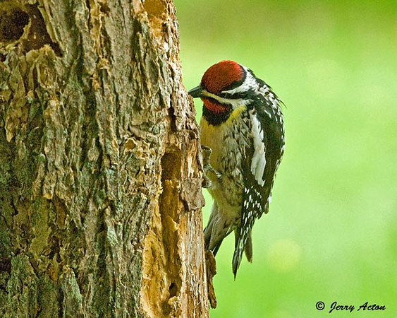 """<div class=""""jaDesc""""> <h4> Male Yellow-bellied Sapsucker at Suet Log - May 31, 2009  </h4> <p> The male Yellow-bellied Sapsucker is now regularly visiting the woodpecker suet log I have hanging right in front of our kitchen window.  Guess he is happy to supplement the sapwells with suet.  The yellow belly shows up nicely in this shot.</p> </div>"""