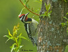 """<div class=""""jaDesc""""> <h4> Male Yellow-bellied Sapsucker Inspecting Sapwells - May 12, 2009  </h4> <p> This is the male Yellow-bellied Sapsucker that stops by our willow tree about every 30 minutes.  He sips at the 100 or so sapwells he and and his mate have drilled around the trunk at several levels.</p> </div>"""