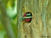 """<div class=""""jaDesc""""> <h4> Male Yellow-bellied Sapsucker in Nest Hole - June 9, 2009  </h4> <p> I finally found the Yellow-bellied Sapsucker nest tree.  I saw the male arrive with food for the chicks who are getting noisier and more demanding by the day.</p> </div>"""