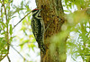 """<div class=""""jaDesc""""> <h4>Female Yellow-bellied Sapsucker Drinking Willow Sap - June 3, 2008 </h4> <p> The female sapsucker (no red on her chin) arrived about 5 minutes after the male left.  They must have a regular sapwell run because they repeated this pattern about every half hour throughout the day.  I hope my willow tree survives with all those sapwell holes in it..</p> </div>"""