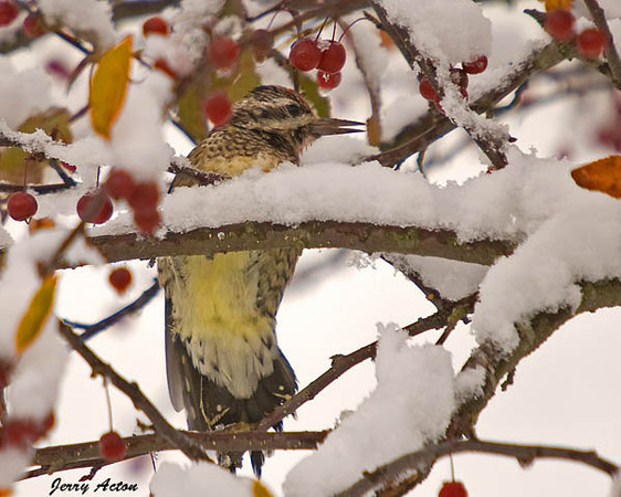 """<div class=""""jaDesc""""> <h4> Yellow-bellied Sapsucker in Snowy Crabapple Tree - October 16, 2009  </h4> <p> I have never seen the Yellow-bellied Sapsuckers this time of year.  This female visited our crabapple tree during a very early all-day snow and briefly pecked at one of the crabapples.</p> </div>"""