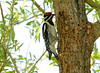 """<div class=""""jaDesc""""> <h4> Male Yellow-bellied Sapsucker Drinking Willow Sap -  June 3, 2008</h4> <p> While working on my grape vines the other day, a Yellow-bellied Sapsucker flew in to this willow tree and sipped on the sapwells it had made.  It was only about 20 feet away and wasn&#39;t bothered by my presence.  So this morning I set up my camera and tripod by the tree and only had to wait about 10 minutes before the male arrived (red on his chin).  The yellow belly is very visible in this shot.</p> </div>"""