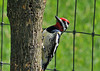 "<div class=""jaDesc""> <h4> Male Yellow-bellied Sapsucker at Mulberry Tree - May 5, 2010  </h4> <p>Last year the Yellow-bellied Sapsuckers drilled several hundred sapwells in our willow tree.  This year they picked our mulberry tree.</p> </div>"